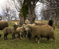 Tsurcana/Zachel ewes and lambs. One of the autochthonous sheep breeds of Romania, the Tsurcana (also known as Zachel) is highly adapted to mountainous conditions Stock Photo