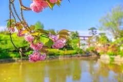 Tsurugaoka Hachiman med den körsbärsröda blomningen royaltyfri foto