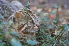 Tsushima Leopard Cat. (Prionailurus bengalensis euptilurus) in Japan Royalty Free Stock Photography