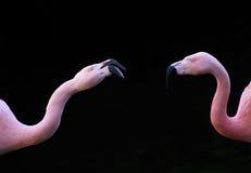 tät flamingo s två upp Arkivbilder