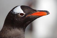 tät gentoopingvin för Antarktis upp Royaltyfria Bilder