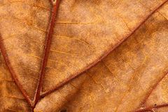 tät leafmakrotextur upp åder Arkivbilder