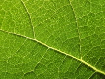 tät leafväxt upp Royaltyfria Bilder