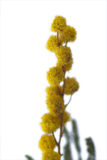 tät mimosa upp Fotografering för Bildbyråer