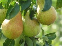 täta pears upp Royaltyfria Bilder