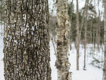 Täta träd i den New England skogen i vinter Arkivbilder