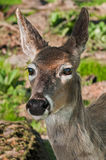 Tête Blanc-coupée la queue de cerfs communs (virginianus d'Odocoileus) Photos stock