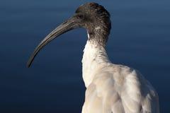 Tête blanche australienne d'IBIS au soleil Photographie stock libre de droits