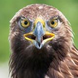 Tête d'aigle Image libre de droits