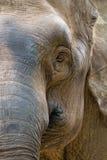 Tête d'éléphant de l'Asie Images libres de droits