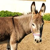 Tête d'âne Photo libre de droits