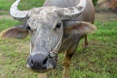 Tête de Buffalo Photographie stock libre de droits