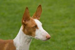 Tête de chien d'Ibizan Photo libre de droits