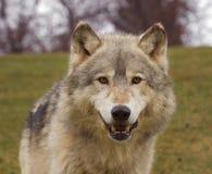 Tête de loup de bois de construction (lupus de Canis) Images stock