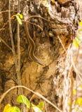 Tête de Skink d'arbre vers le bas sur le rondin d'arbre Image libre de droits