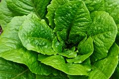 Tête feuillue verte de Romaine Lettuce dans un jardin Photos stock