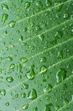 Ttexture de la hoja verde después de la lluvia Imagen de archivo