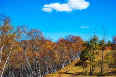 Tthe autumnal birch forest Stock Photography