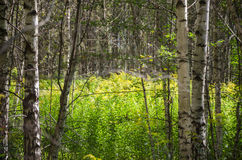 TThe flowers of goldenrod in a birch grove. The flowers of goldenrod in a birch grove in summer Stock Photography