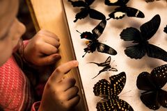Little Girl Researching Entomology Collection of Tropical Butterflies. Ttle Girl researching Entomology Collection of Tropical Butterflies. Study Theme stock images