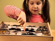 Little Girl Scrutinizes Entomology Collection of Tropical Butterflies. Ttle Girl Scrutinizes Entomology Collection of Tropical Butterflies. Study Theme stock photography