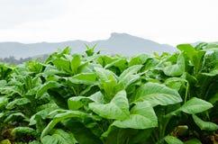 TTobacco (tabacum Linn) fa de la nicociana Imagen de archivo
