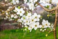 Ttree in witte bloesem Stock Foto