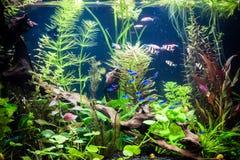 Ttropical zoetwateraquarium met vissen Stock Afbeelding