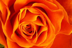 tätt orange rose övre Royaltyfri Fotografi