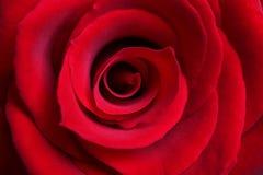 tätt rött rose övre Fotografering för Bildbyråer