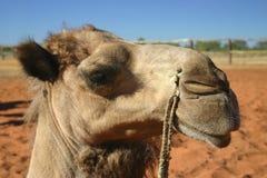 tätt övre för kamel Arkivbild