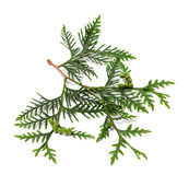 Ttwig of thuja with green cones Royalty Free Stock Image