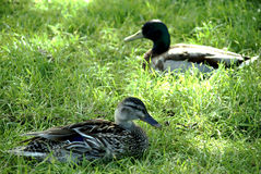 Ttwo ducks resting. Two ducks resting in the green grass Stock Images