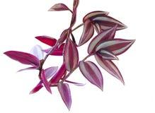 Tułacza żyd roślina Fotografia Stock