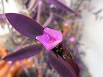Tułaczy żyd kwiat obrazy stock