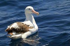Tułaczy albatros Obrazy Stock