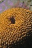 Tułaczy anemon fotografia stock