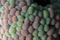 Tułaczy anemon (dzień) obrazy royalty free
