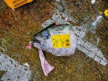 Tuńczyk głowa Zdjęcia Stock