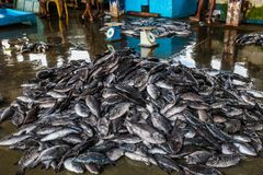 Tuńczyk ryba przy połowu rynkiem w Beruwala schronieniu, Sri Lanka Fotografia Royalty Free