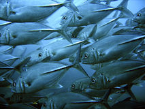 tuńczyka szkoły Obrazy Stock