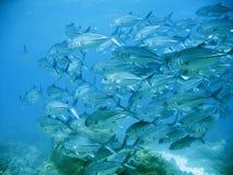 tuńczyka szkoły Fotografia Royalty Free