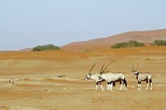 Tułacza diuna Sossuvlei w Namibia Zdjęcia Royalty Free