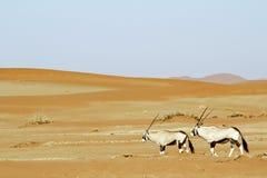Tułacza diuna Sossuvlei w Namibia Obrazy Royalty Free