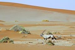 Tułacza diuna Sossuvlei w Namibia Fotografia Royalty Free