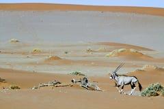Tułacza diuna Sossuvlei w Namibia Obraz Royalty Free