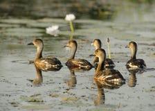Tułacze gwizdanie kaczki, Australia Obraz Stock