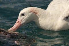 Tułaczego albatrosa karmienie Obraz Stock