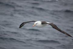 Tułaczy albatros Zdjęcie Royalty Free