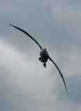 Tułaczy albatros w locie Zdjęcia Stock